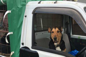 車で待つ犬
